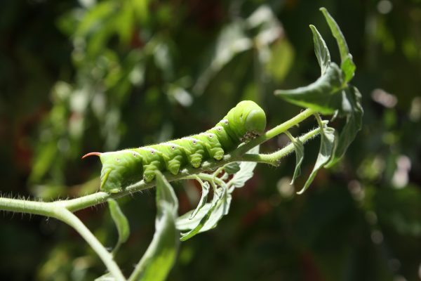 Tomato Horn Worm - Free High Resolution Photo