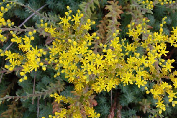Blooming Sedum Plant - Free High Resolution Photo
