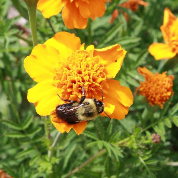 Bumble Bee on Marigold - Free High Resolution Photo