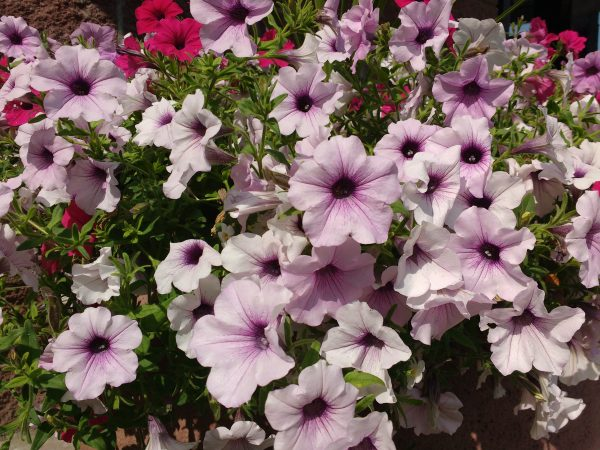 Light Purple Petunias - Free High Resolution Photo
