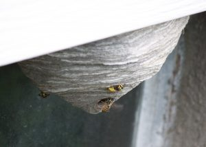 Yellow Jackets - Free High Resolution Photo