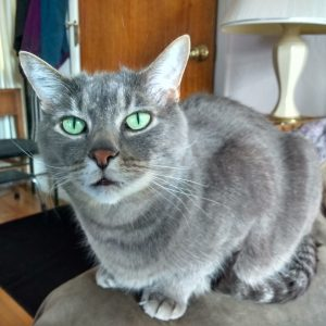 Gray Cat with Green Eyes - Free High Resolution Photo
