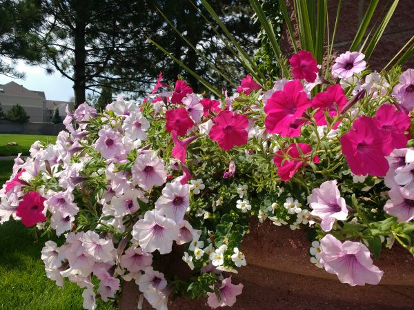 Lavender and Magenta Petunias - Free High Resolution Photo