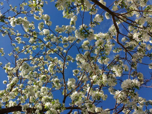White Blossoms and Blue Sky - Free High Resolution Photo