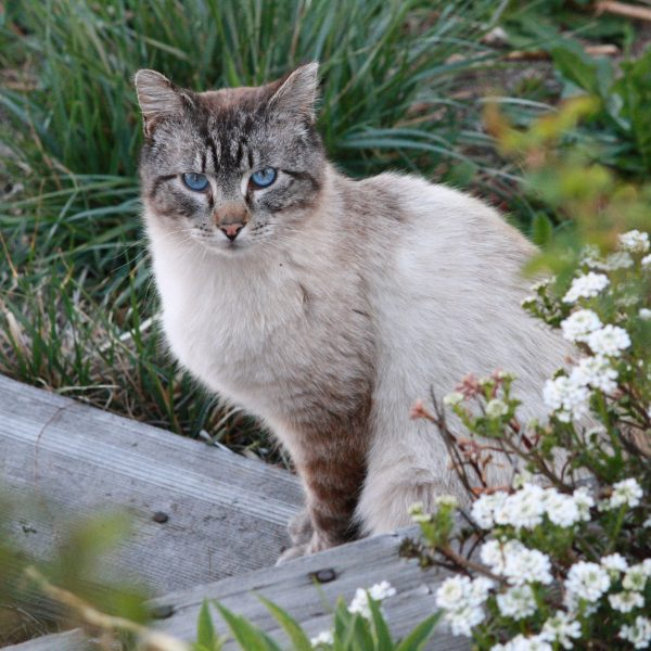 Cat with Blue Eyes - Free High Resolution Photo