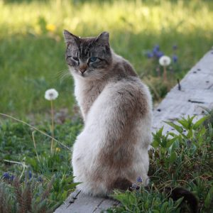 Feral Cat with Tipped Ear - Free High Resolution Photo