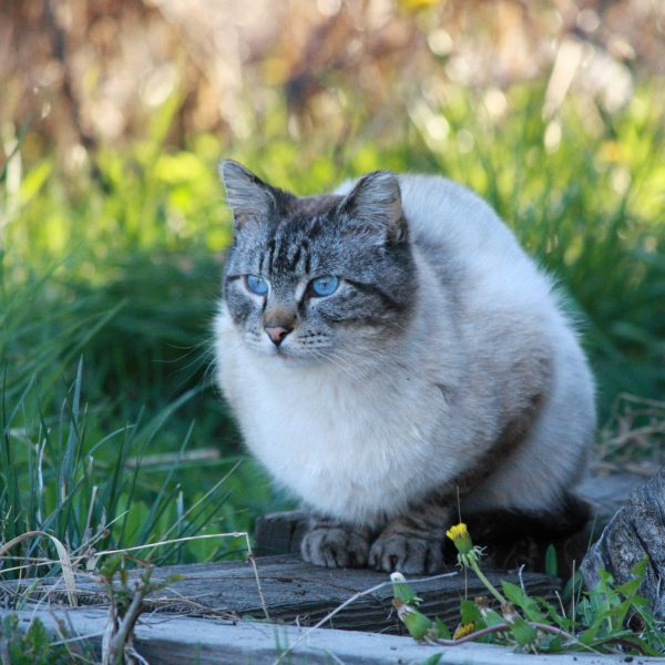 Siamese Tabby Cat - Free High Resolution Photo