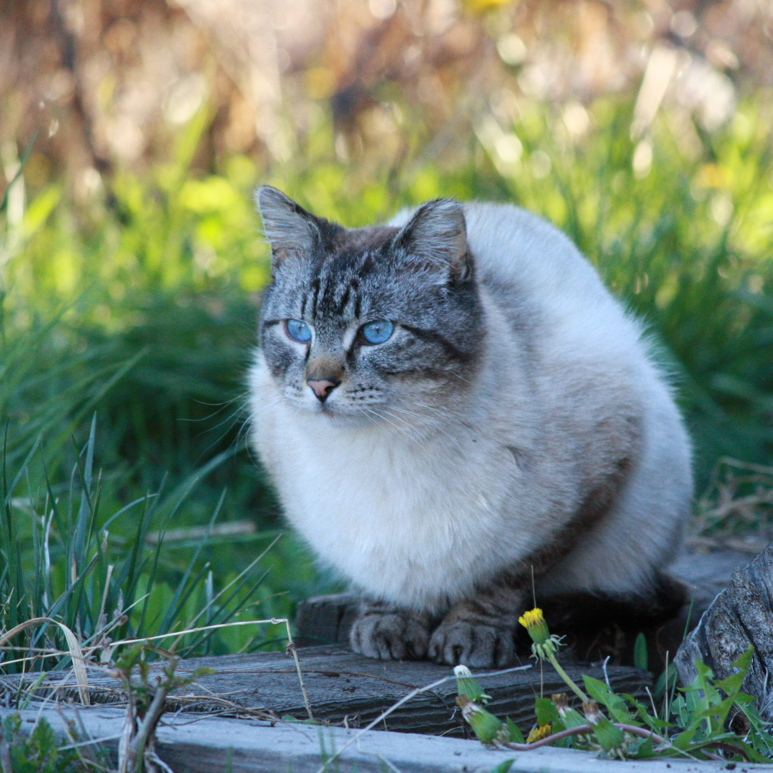 Siamese Tabby Cat Picture Free Photograph Photos