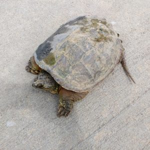 Tortoise on the Sidewalk - Free High Resolution Photo