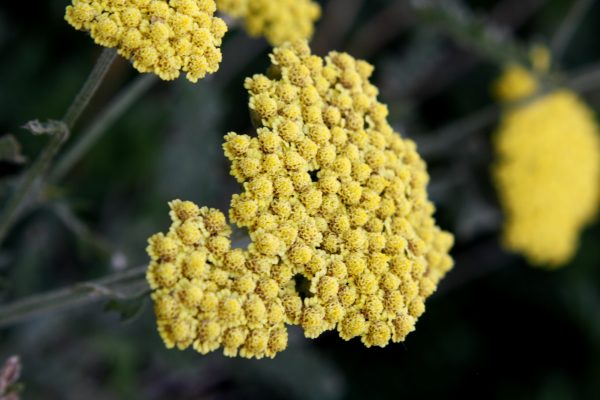 Blooming Golden Yarrow Plant - Free High Resolution Photo