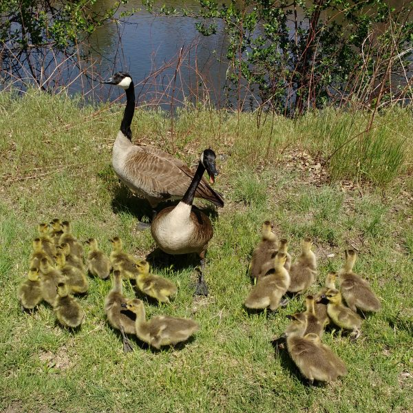 Geese with Lots of Goslings - Free High Resolution Photo