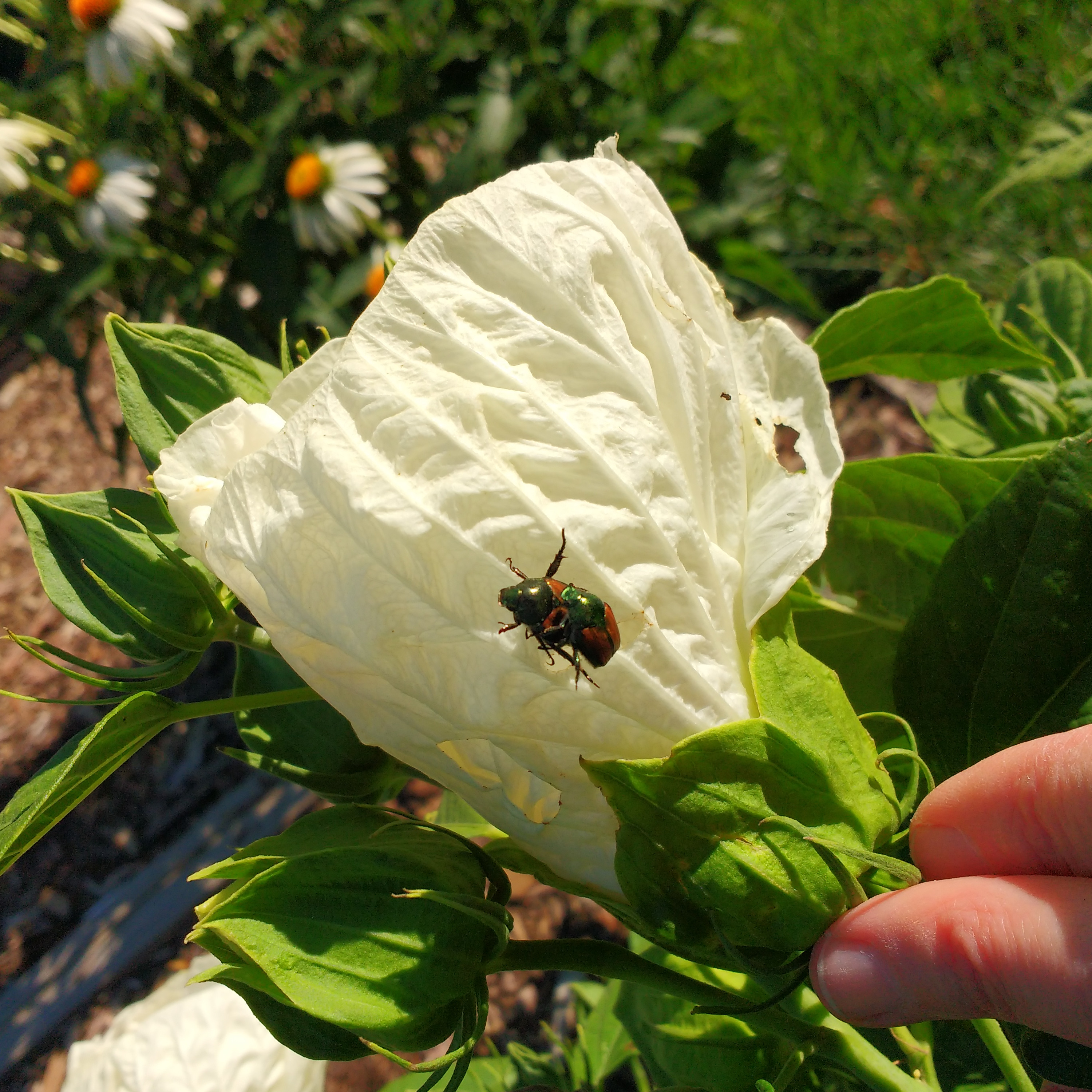 Japanese Beetles On Hibiscus Flower Picture Free Photograph