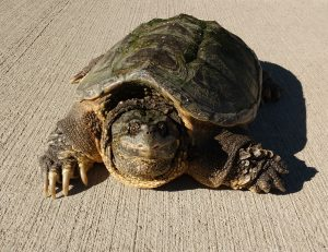 Common Snapping Turtle - Chelydra Serpentina - Free High Resolution Photo