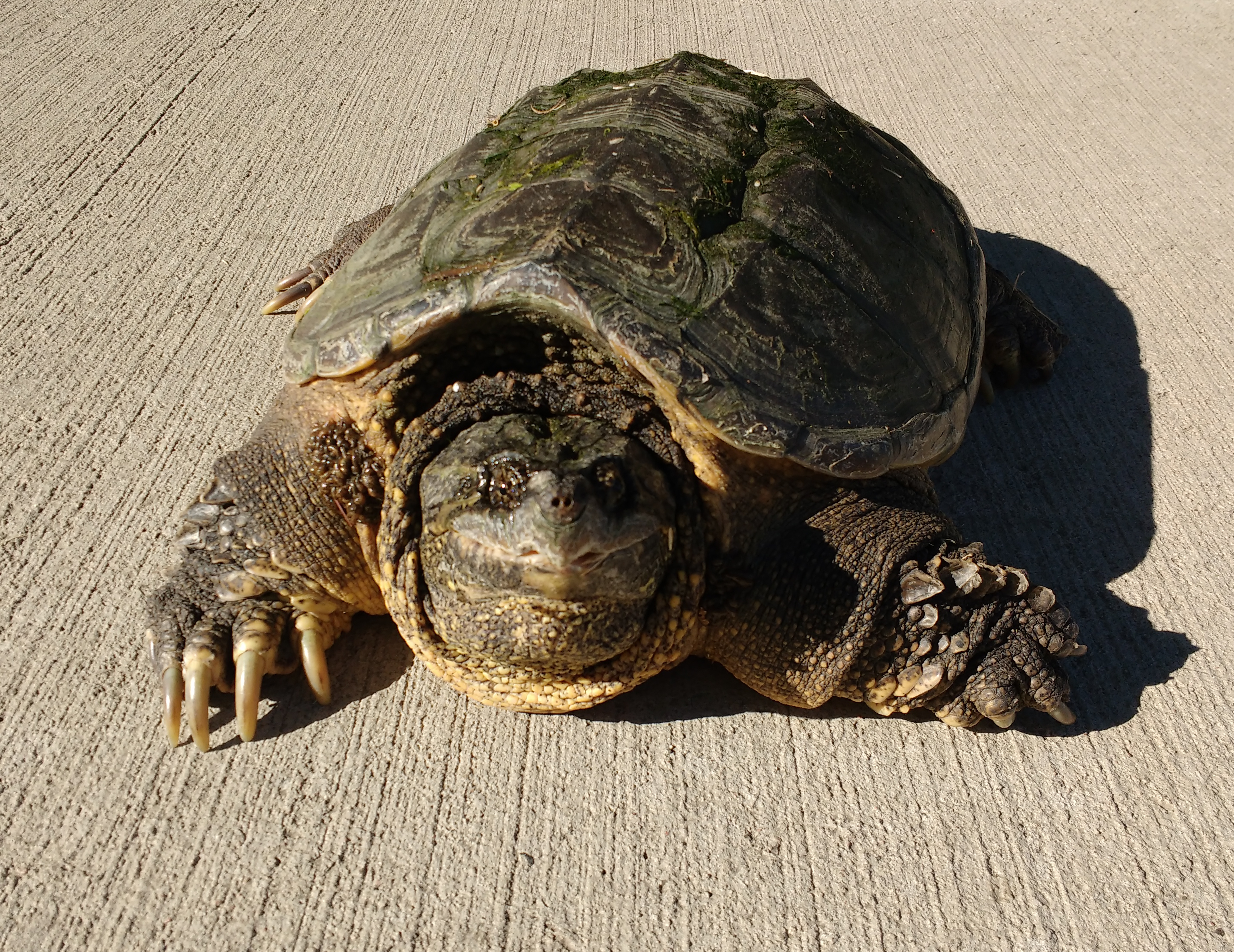 Common Snapping Turtle Chelydra Serpentina Picture