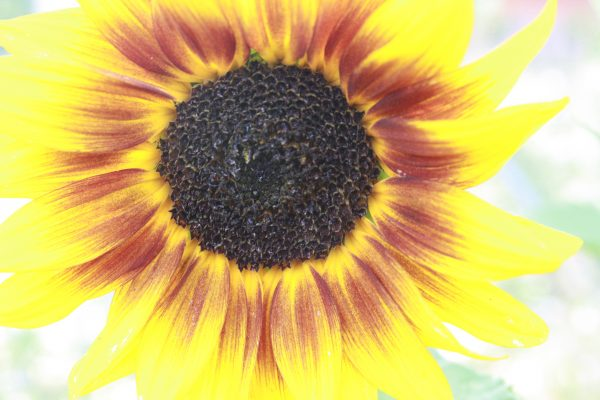 Sunflower - Free High Resolution Photo