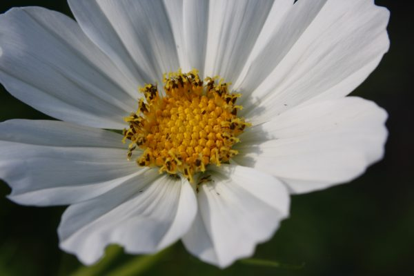 White Garden Cosmos Flower Close Up - Free High Resolution Photo