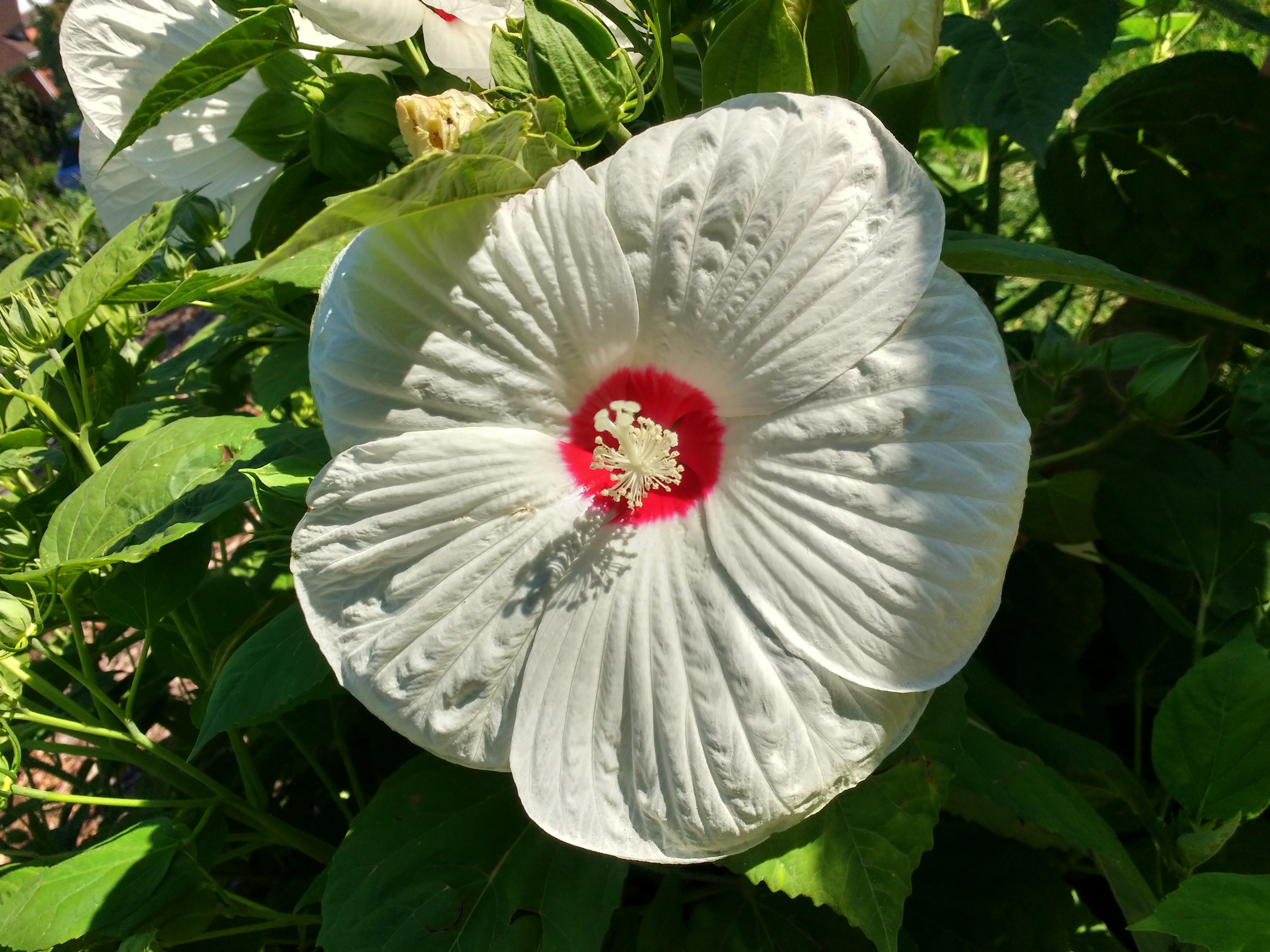 White Hibiscus Flower Photos Public Domain