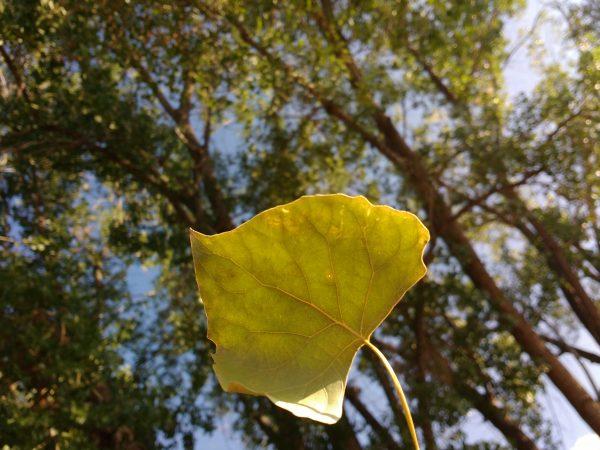 Cottonwood Leaf - Free High Resolution Photo