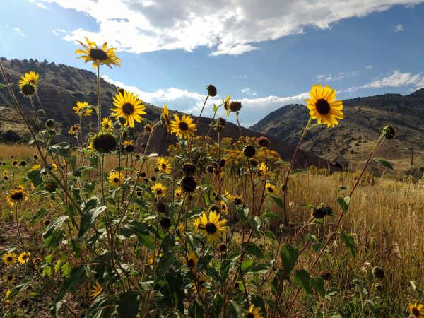 Mountain Sunflowers - Free High Resolution Photo