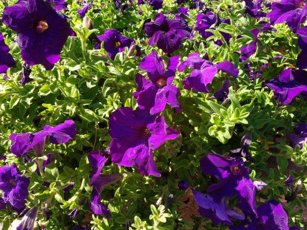 Purple Petunias - Free High Resolution Photo