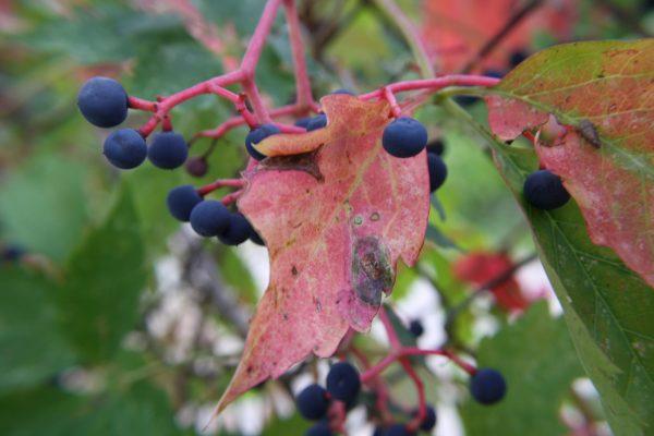 Berries on Virginia Creeper Vine - Free High Resolution Photo