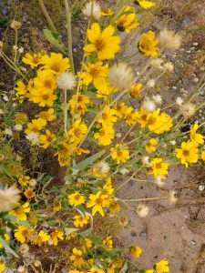 Yellow Wildflowers Golden Crownbeard - Free High Resolution Photo