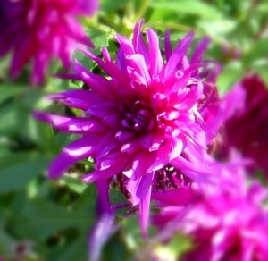 photo of magenta colored pink flower with leaves in background