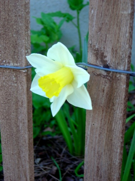photo of yellow and white daffodil peeking through wooden fence