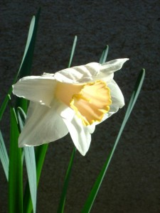 photo of a single yellow and white daffodil