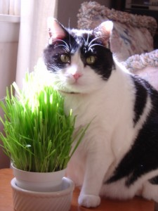 photo of black and white cat with kitty greens in the sunlight