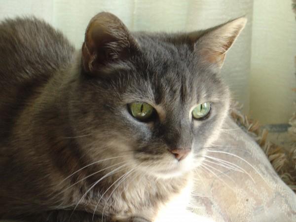Gray Tabby Cat Close Up