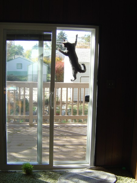 Kitten Climbing Screen Door