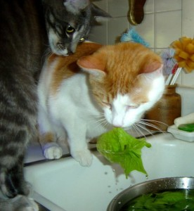 Kittens Eating Spinach