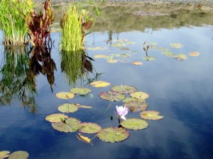 Photo of Lilypads in pond with sky reflected