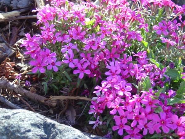 photo of magenta colored flowers creeping phlox