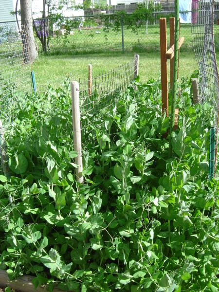photo of pea vines in a backyard garden