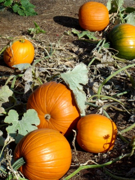 photo of fall pumpkins in a pumpkin patch