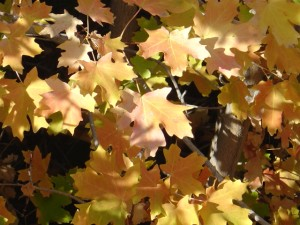 photo of golden brown maple leaves with dappled sunlight