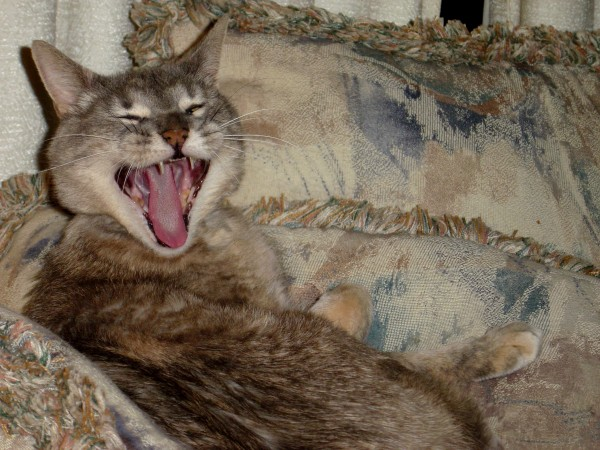 Photo of gray tabby cat with its mouth open yawning
