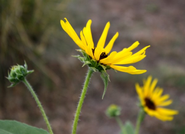 free photo: side view of a yellow black eyed susan flower