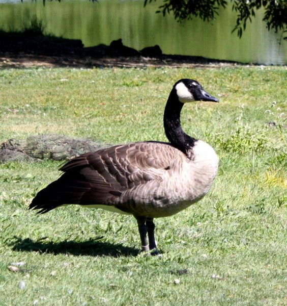 photo of a Canadian Goose