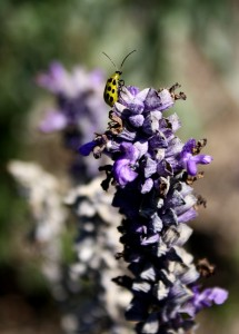 free photograph of a spotted yellow cucumber beetle on purple lavender flowers