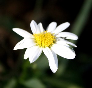 close up photo of a white daisy blooming