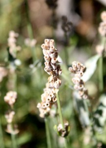 close up photo of dried flowers in garden