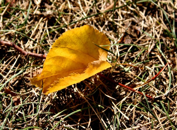 Free photo of a golden cottonwood leaf sitting on the brown grass