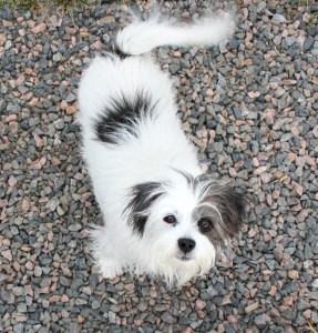 Free photo of a gray and white terrier dog