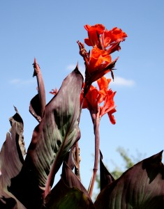 Free photo of red king humbert canna lilies
