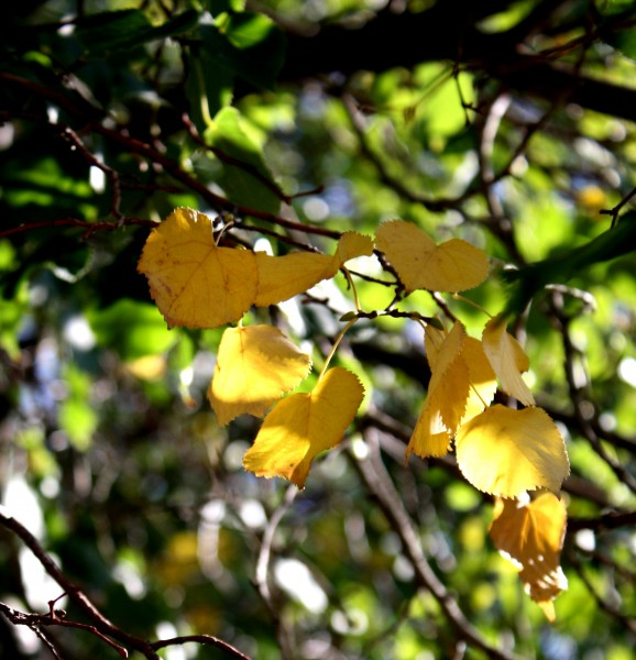 Free photograph of a few yellow leaves amongst the green