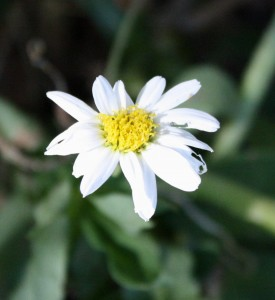 photo of a white daisy flower