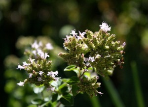 closeup photo of blooming oregano flowers